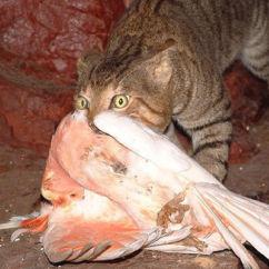 Hunting Wa Feral Cats