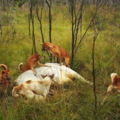 Hunting Wa Feral Dogs Devouring Cattle