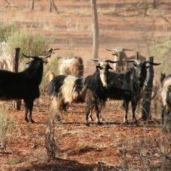 Hunting Wa Feral Goats 02