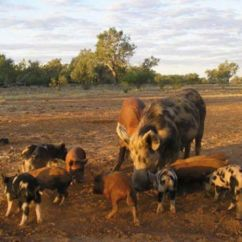 Hunting Wa Feral Pigs